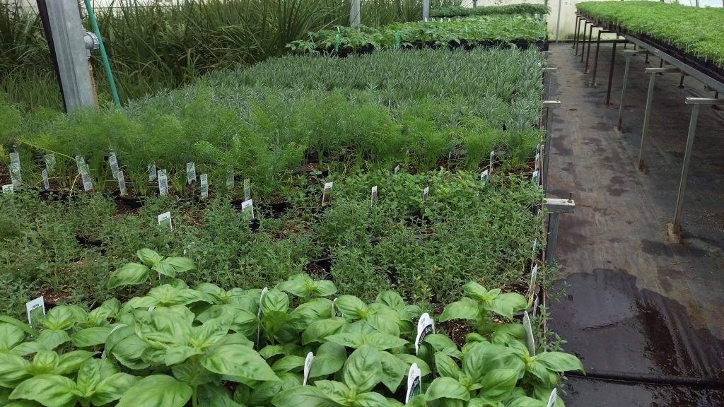 Vegetables and Herbs - AVB Greenhouses
