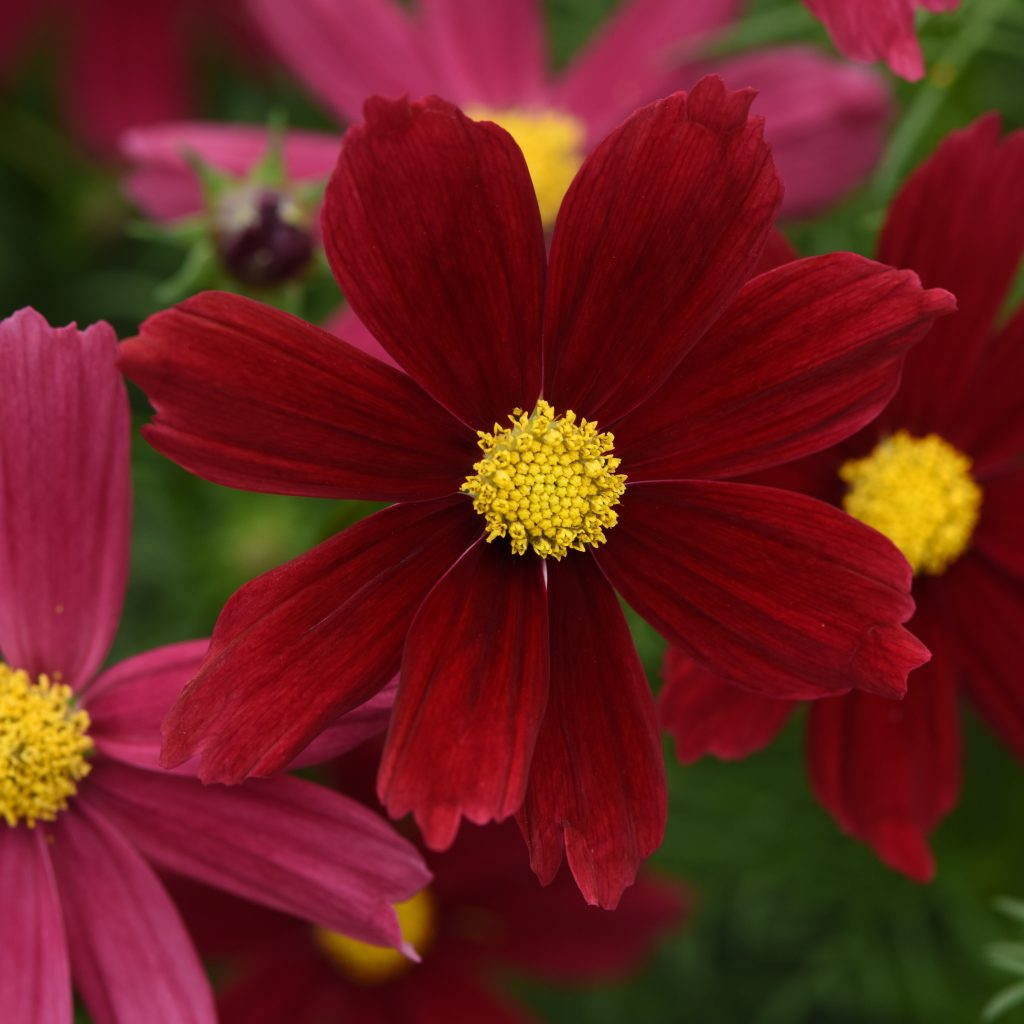 Sonata Red Shades Cosmos Color Code: 208c PAS Kieft 2020, #T3796T Bloom, Seed 06.20.18 Venhuizen, Mark Widhalm SonataRedShades_02.JPG COS18-24435.JPG
