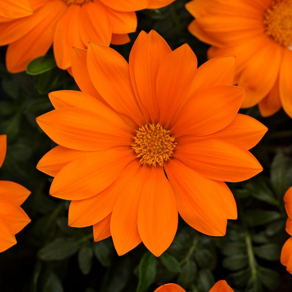 Gazania, New Day Clear Orange