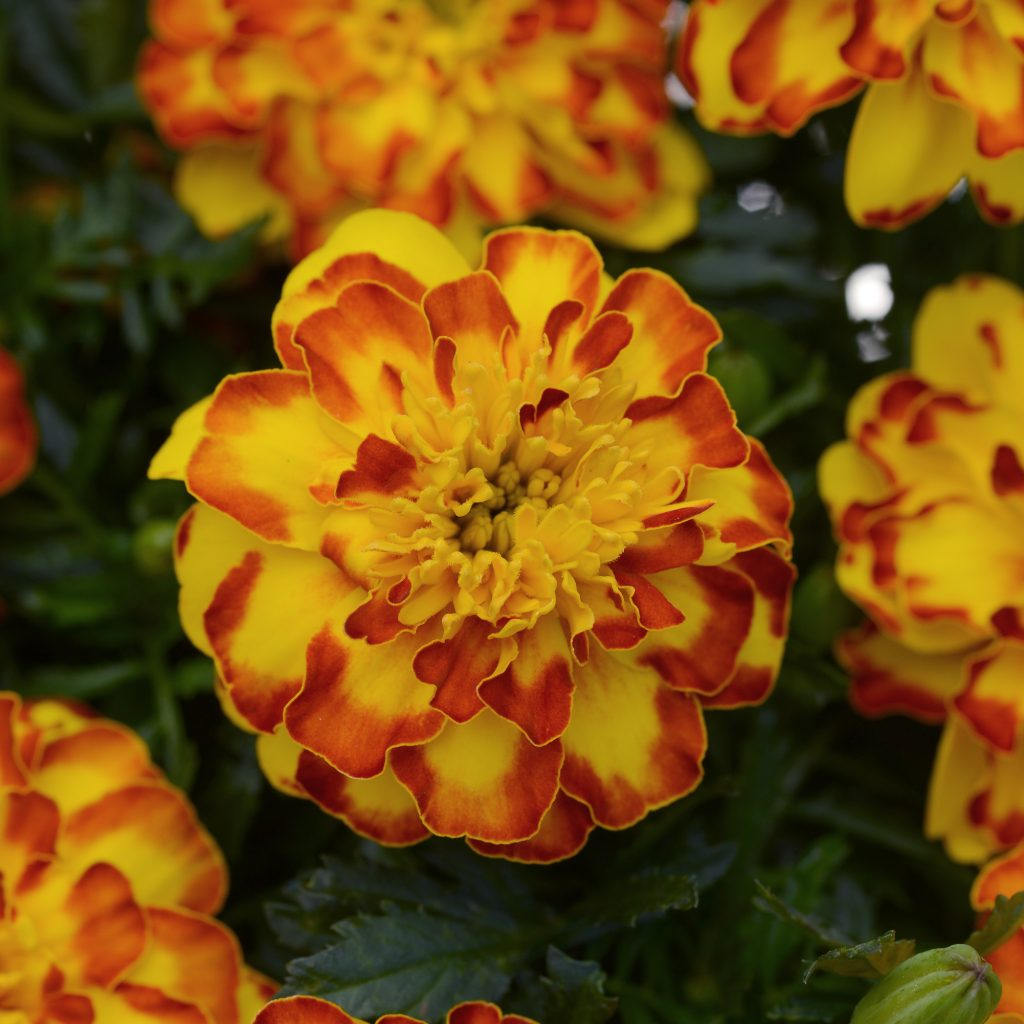 Flamenco French Marigold Color Code: Yellow C, 1805c PAS Kieft 2020 #S3899c Bloom, Seed 08.16 Santa Paula, Mark Widhalm BonanzaFlamenco02_02.JPG MAR16-21959.JPG