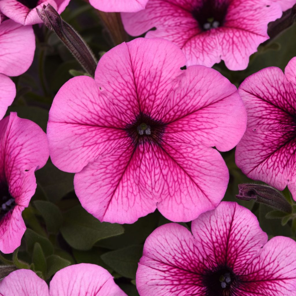 Petunia, Easy Wave Rose Fusion - New Variety!