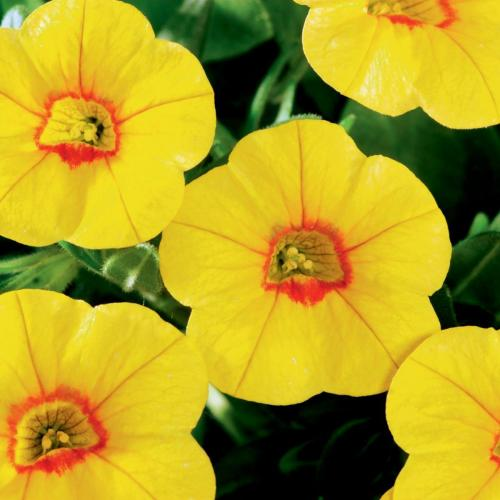 Calibrachoa, Callie Gold Red Eye