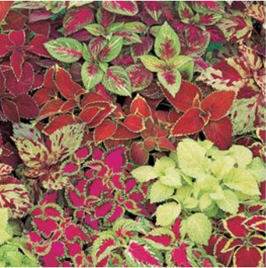 Coleus, Fairway Mix