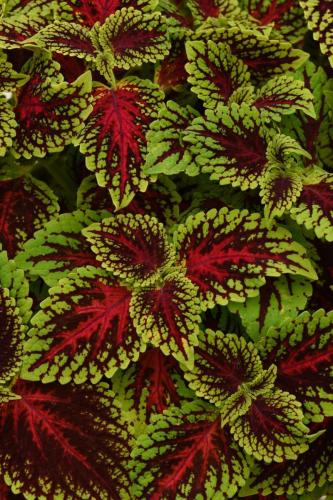 Coleus Dragon Heart
