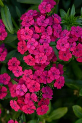 Dianthus, Jolt Cherry in 1801's!