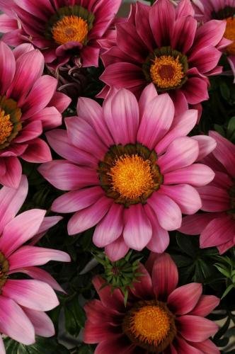 Gazania, New Day Pink Shades