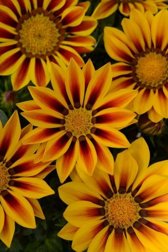 Gazania, New Day Red Stripe