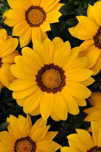 Gazania, New Day Yellow
