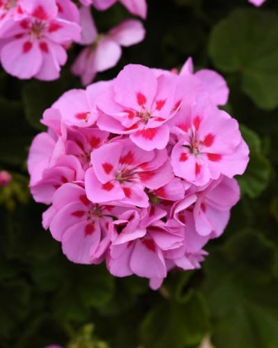 Geranium, Sunrise Lavender Red Eye - Zonal