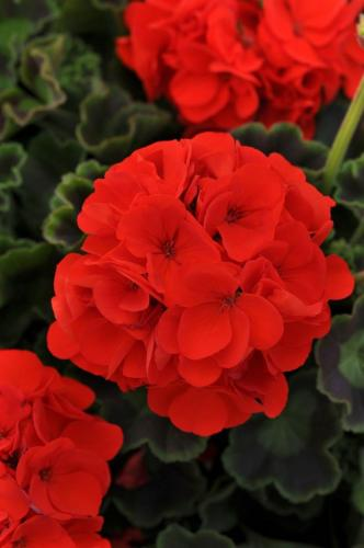 Geranium, Sunrise Orange - Zonal