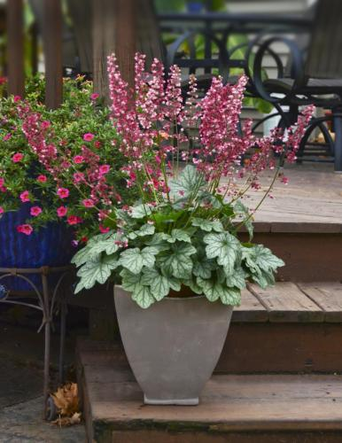 Heuchera, Berry Timeless