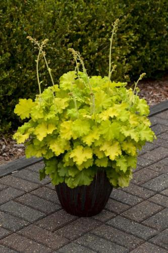 Heuchera, Lemon Love