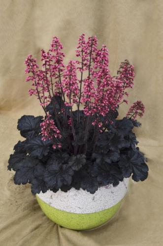 Heuchera, Timeless Night