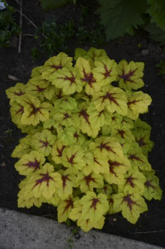Heucherella, Catching Fire