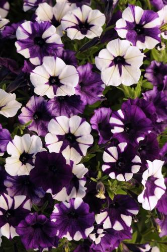 Petunia, Shock Wave Purple TieDye